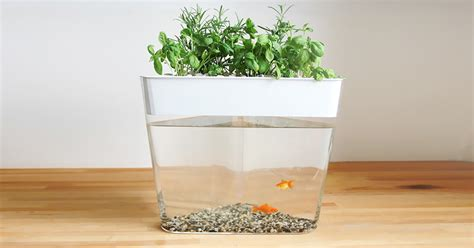 How To Start An Indoor Herb Garden From Seeds - ecofarm this stylish aquarium uses fish waste to grow edible herbs