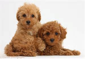 Rules of the jungle poodle puppies