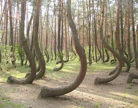 mysterious photos of unexplainably crooked forest in poland