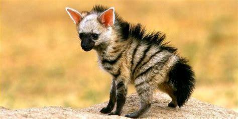 baby hyenas    cuter  grown hyenas cute