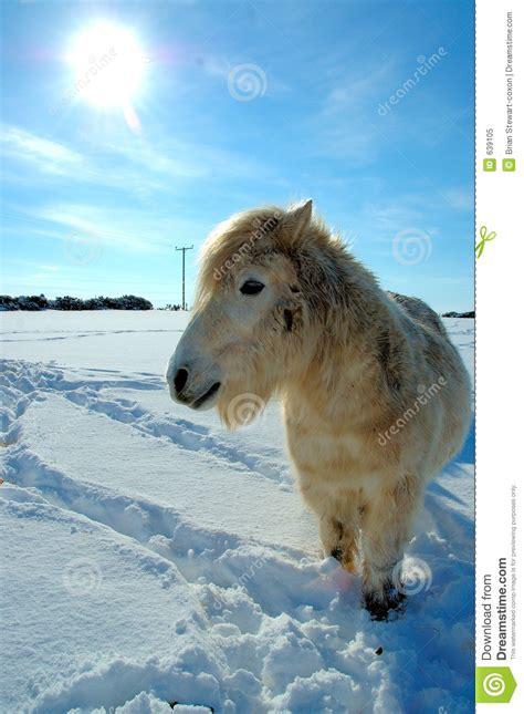 shetland pony stock photos images royalty free shetland shetland pony in winter royalty free stock photo image