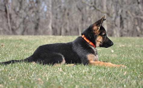 german shepherd puppies for sale in illinois vollmond breeder of german shepherd puppies dogs for sale chicago illinois