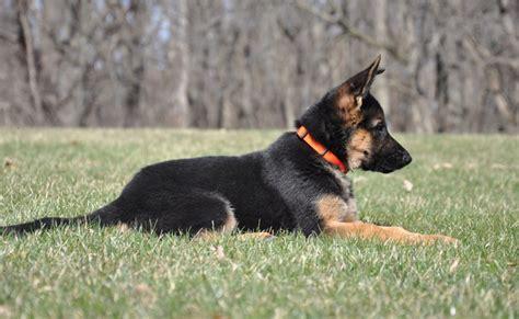 german shepherd puppies illinois vollmond breeder of german shepherd puppies dogs for sale chicago illinois