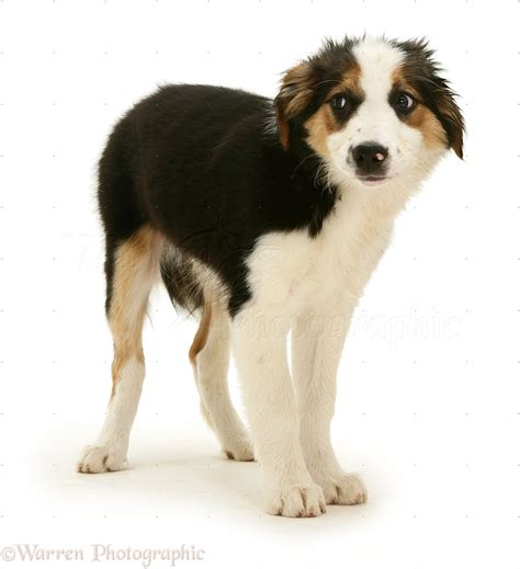 collie dogs frightened looking border collie pup photo wp36493