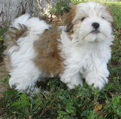 are havanese dogs hypoallergenic havanese not in the housenot in the house