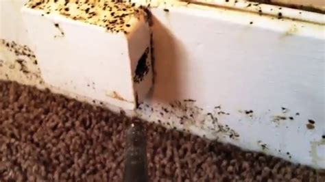 Worst Bed Bug Infestation by Bbb Extermination Services Thousands Of Bed Bugs Infest