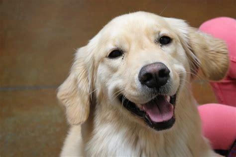 wolfhound golden retriever mix labrador pointer mix maggie international leader breeds picture