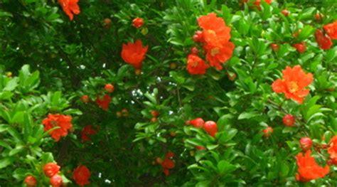 fiore melograno melograno da fiore informazioni pianta consigli cure