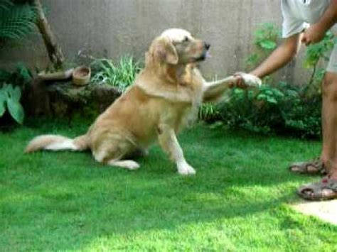 are golden retrievers smart eldo the smart and talented golden retriever