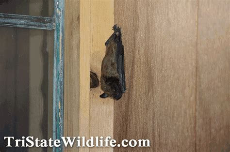 bat in bedroom while sleeping tri state wildlife management about us male models picture