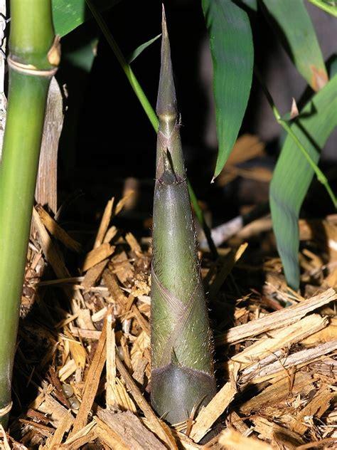 bambus le bambus nana bambusa nana 7lt edip g ler fidanc l k