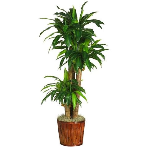 plants that do well indoors 17 best plants to grow indoors without sunlight dracaena