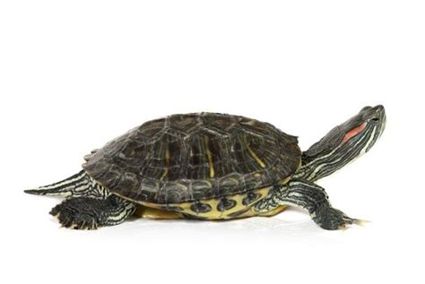 Do Eared Sliders Shed by How Big Do Eared Slider Turtles Get Quora
