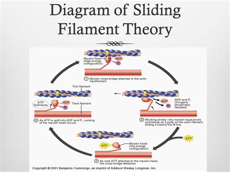 filament diagram the steps of the sliding filament theory ppt