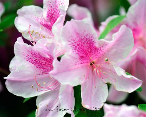 New Azalea 15 flowers and their meaning pollen nation