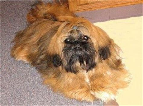 shih tzu pekingese mix information shinese shih tzu x pekingese mix info temperament puppies pictures