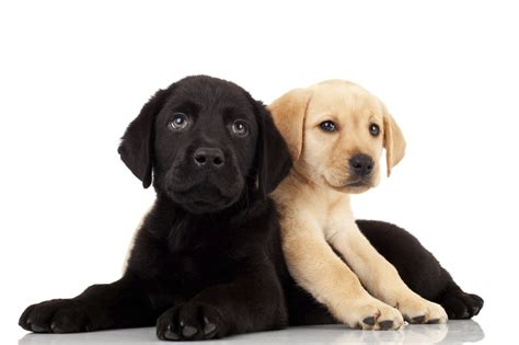 doge puppy international guide dogs day how to become a puppy raiser