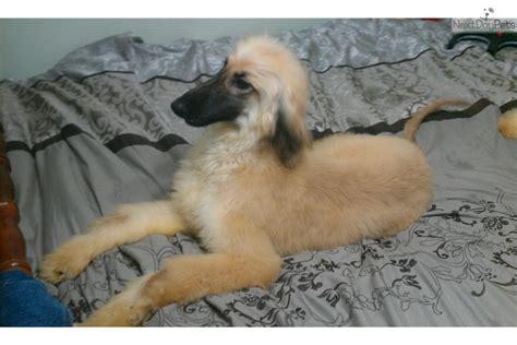 afghan hound puppies for sale afghan hound puppy for sale near orlando florida 6f1b9197 bdb1