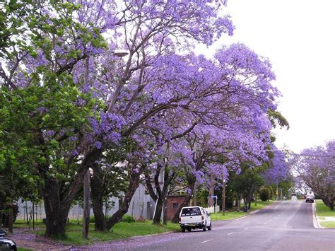 jacaranda trees spain delicate fern like leaves purple flowers 187 spain info