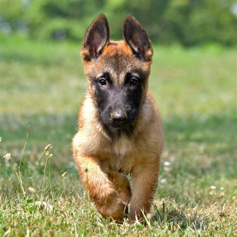 belgian shepherd laekenois breeders belgian malinois shepherd dog breeds car interior design