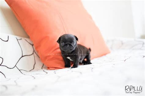 teacup pug for sale near me sold to funderburk pug m rolly teacup puppies