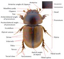beetle anatomy diagram wiring diagram schemes