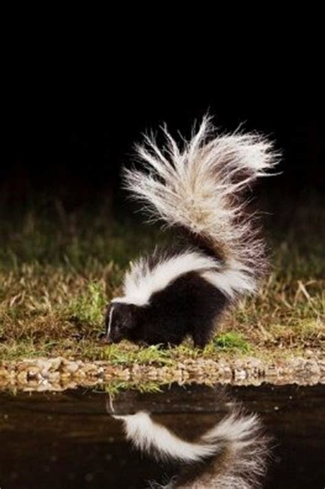 got sprayed by a skunk my got sprayed by a skunk and that stinks montreal