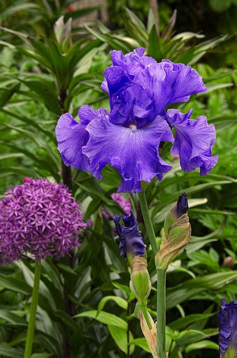 linda cochrans garden bearded irises