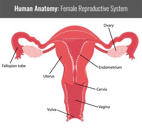apparato genitale femminile interno die weiblichen geschlechtsorgane 9monate de