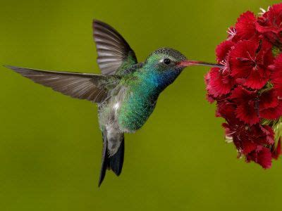 The Takaratomy Kotoridayori Humming Bird Whistles While You Work by 25 Best Ideas About Hummingbird Photos On