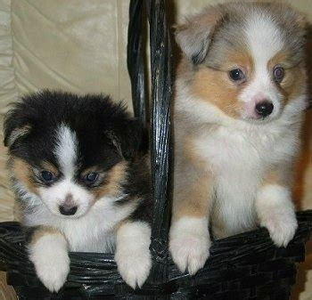 australian shepherd size at 3 months miniature australian shepherd dog breed information and
