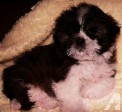 small breed puppies for sale in nashville tn teddy dogs in nashville tn breeds picture