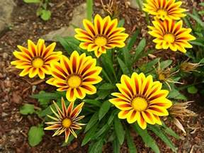 Flower Plants by Treasure Flowers How To Grow And Care For Treasure Flower