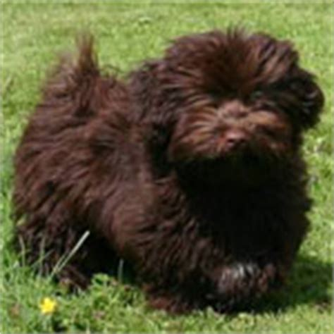 havanese weight range havanese breed 187 information pictures more