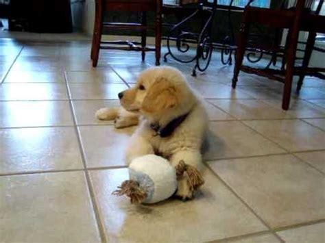 golden retriever puppies dublin dublin the cutest golden retriever puppy