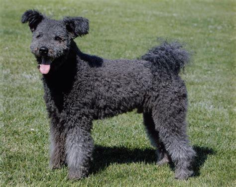 show breeds pumi westminster kennel club