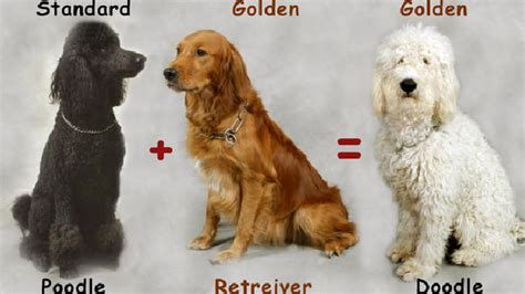 goldendoodle vs golden retriever goldendoodle vs american goldendoodle breeds picture