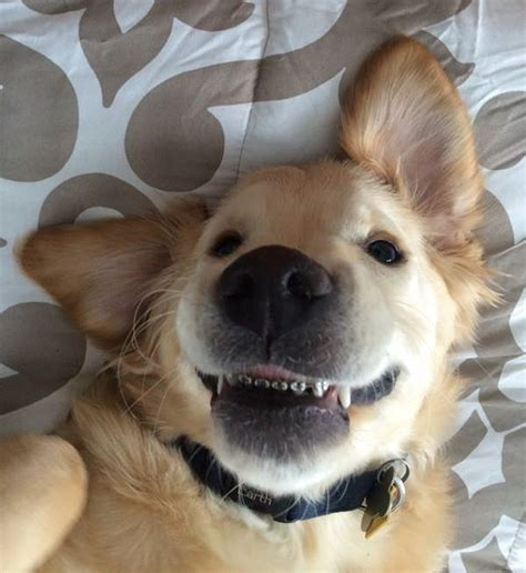 golden retriever teeth this couldn t his so he got braces bored panda
