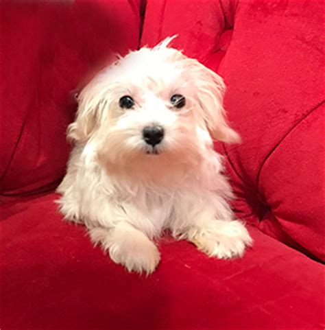 pocket puppies chicago pocket puppies boutique chicago 773 857 1519 upcomingcarshq