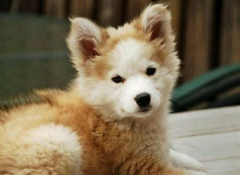 alaskan husky and golden retriever mix golden retriever and husky mix puppy