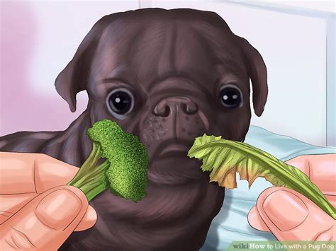 how much to feed pug puppy 5 ways to live with a pug wikihow