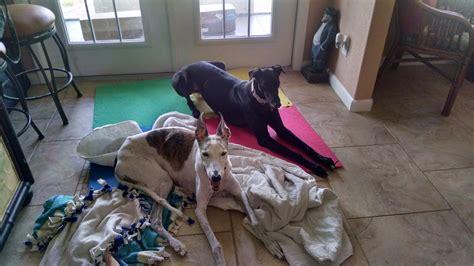 greyhound couch potato 45 mph couch potato greyhound adoptions inc petfinder