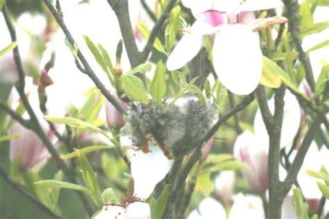 newsflash! goldfinch's nest in garden exclusive