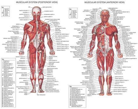 pulled groin diagram groin muscles diagram anatomy organ