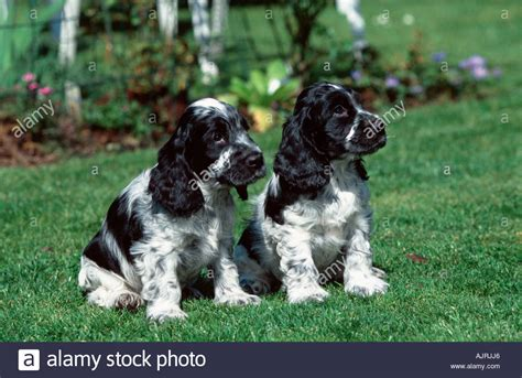 free cocker spaniel puppies cocker spaniel puppies www pixshark images