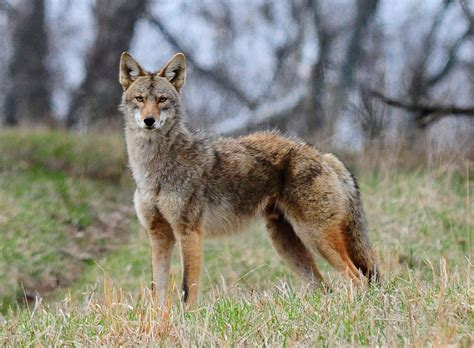 images of a coyote kentucky afield outdoors now a common presence in state