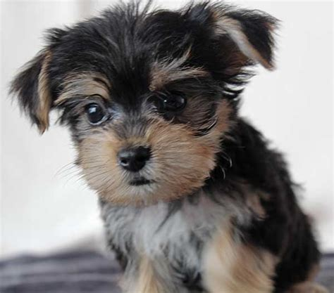 morkie puppies morkie puppy for sale in boca raton south florida