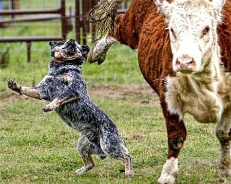 how to a working cow flying hoof meets cattle he needs to practice his heel flickr
