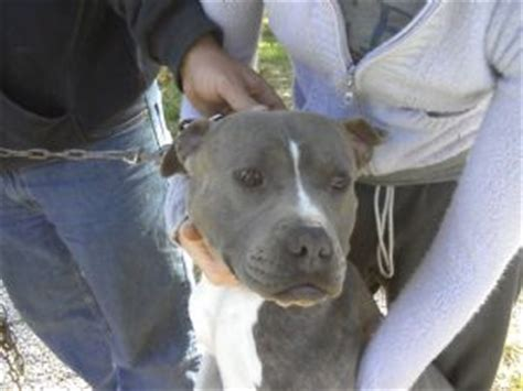 puppies for sale louisville pit bull puppies for sale louisville ky pennysaverusa breeds picture