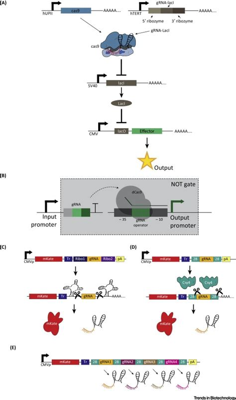 integrated gene circuits synthetic circuits integrating logic and memory in living cells 28 images integrated gene